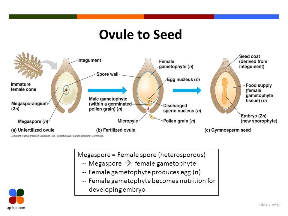 Ovule to Seed Megaspore = Female spore (heterosporous)