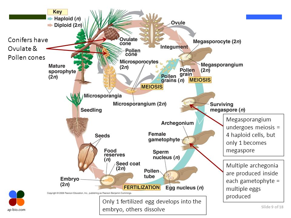 Conifers have Ovulate & Pollen cones