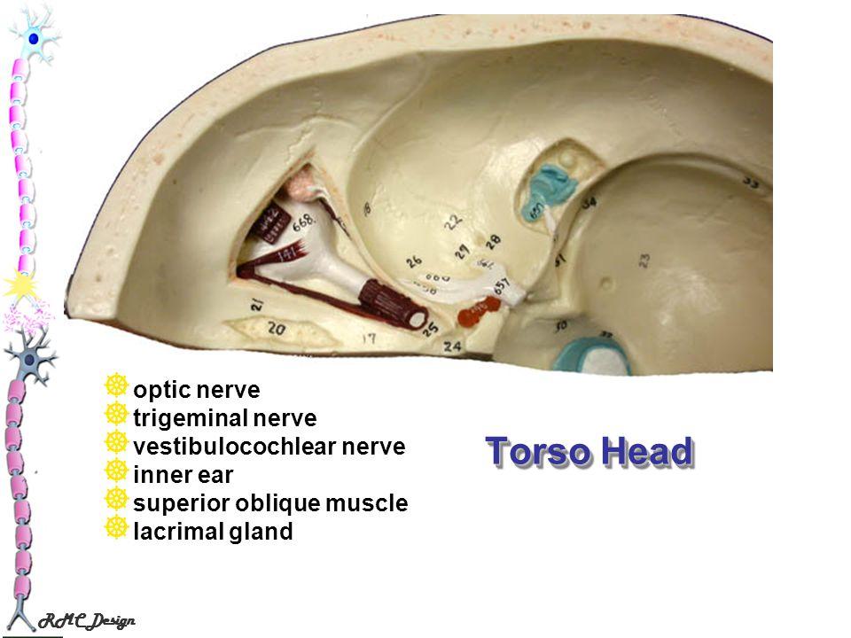 Torso Head optic nerve trigeminal nerve vestibulocochlear nerve
