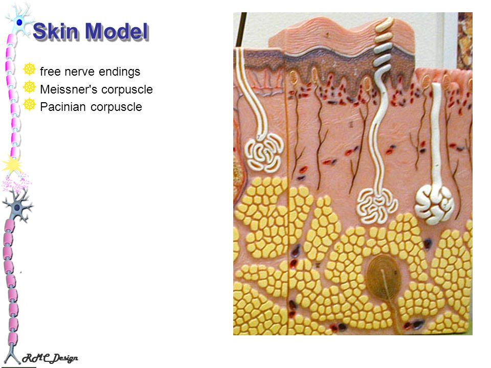 Skin Model free nerve endings Meissner s corpuscle Pacinian corpuscle