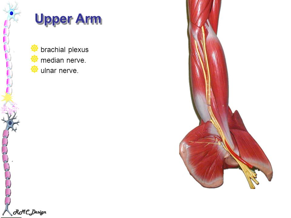 Upper Arm brachial plexus median nerve. ulnar nerve.