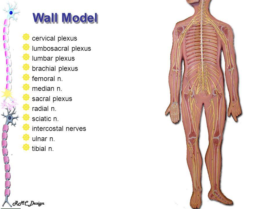 Wall Model cervical plexus lumbosacral plexus lumbar plexus