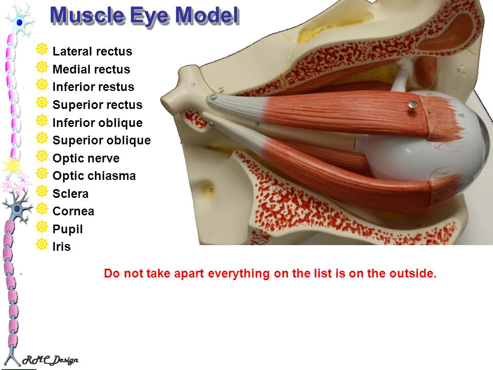 Muscle Eye Model Lateral rectus Medial rectus Inferior restus
