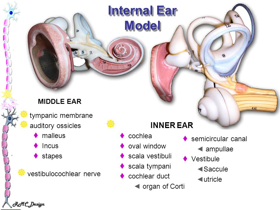 Internal Ear Model INNER EAR MIDDLE EAR tympanic membrane