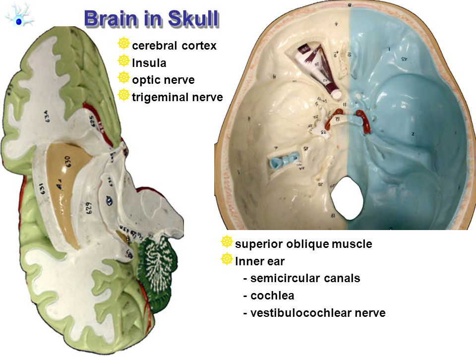 Brain in Skull cerebral cortex Insula optic nerve trigeminal nerve