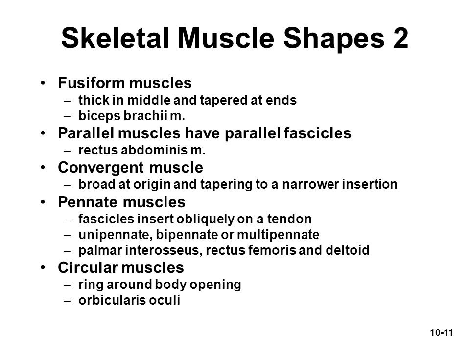Skeletal Muscle Shapes 2