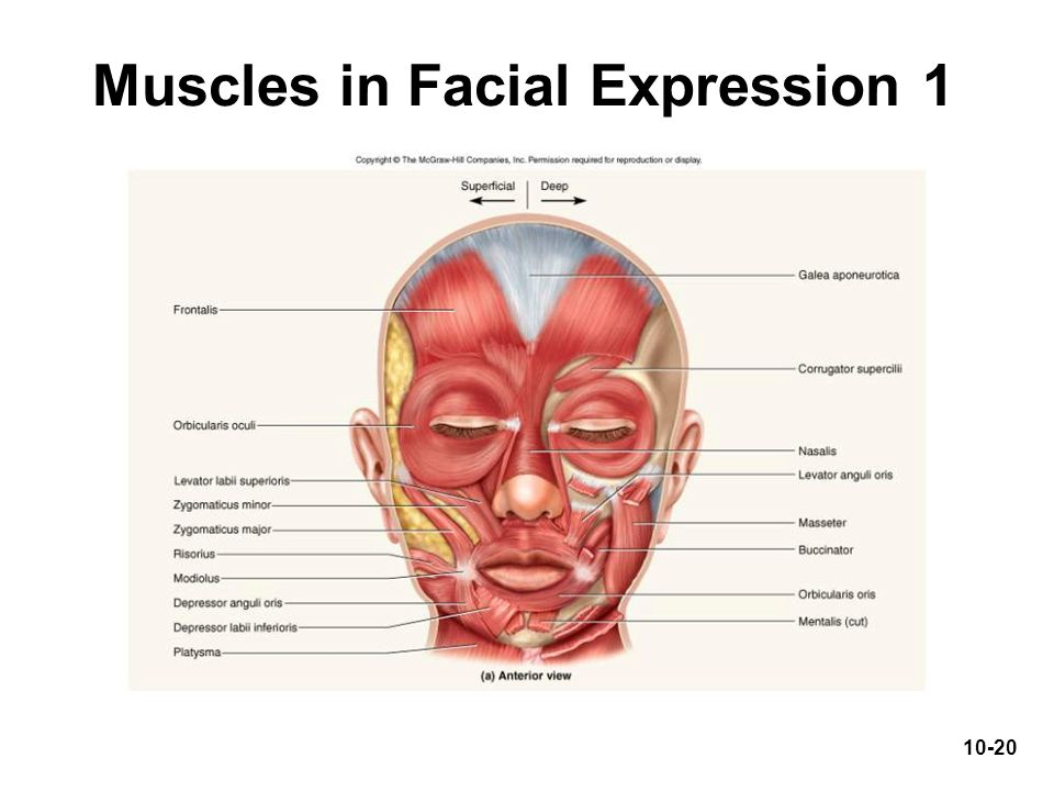 Muscles in Facial Expression 1