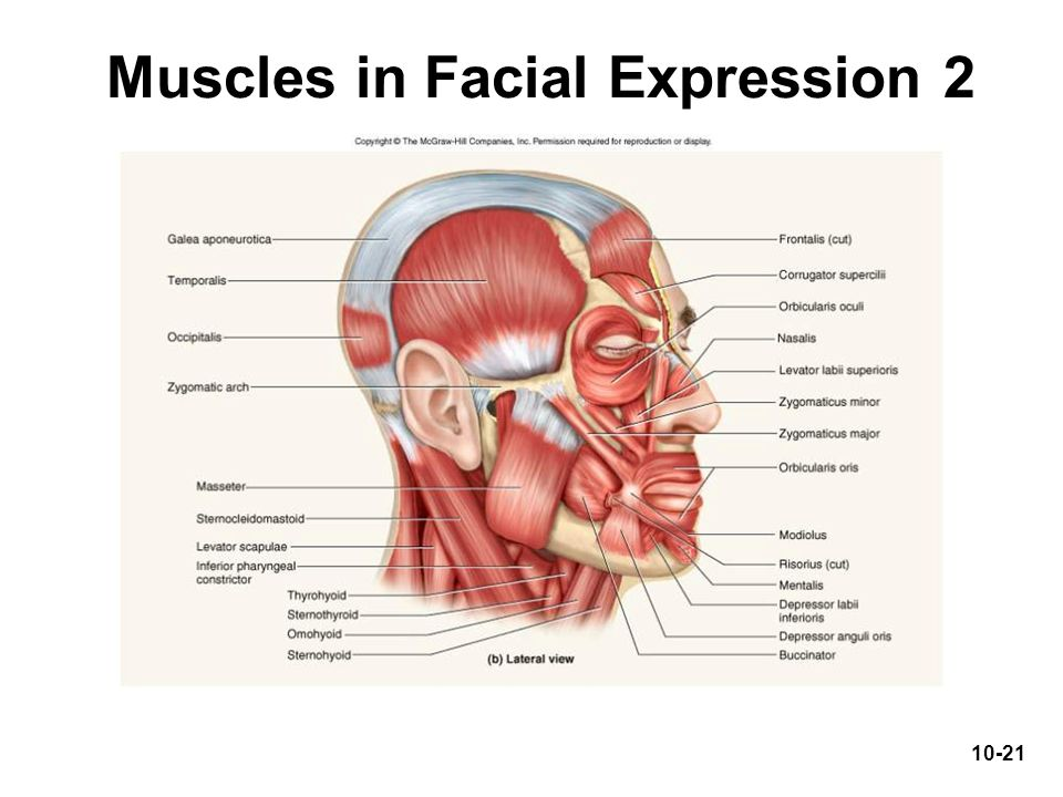 Muscles in Facial Expression 2