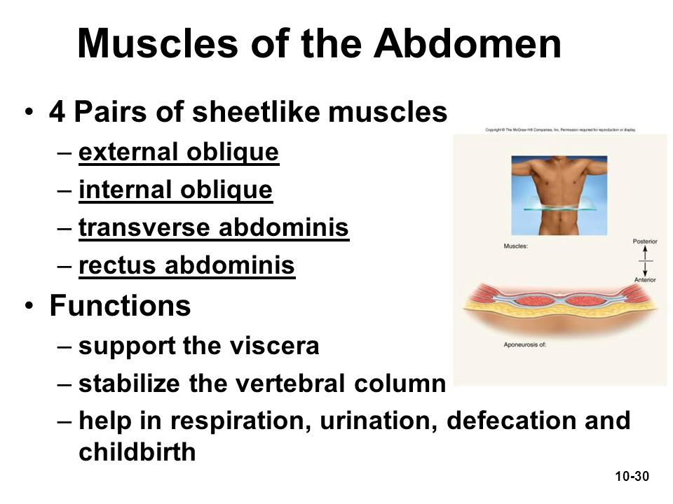 Muscles of the Abdomen 4 Pairs of sheetlike muscles Functions