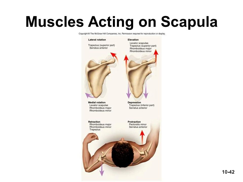 Muscles Acting on Scapula