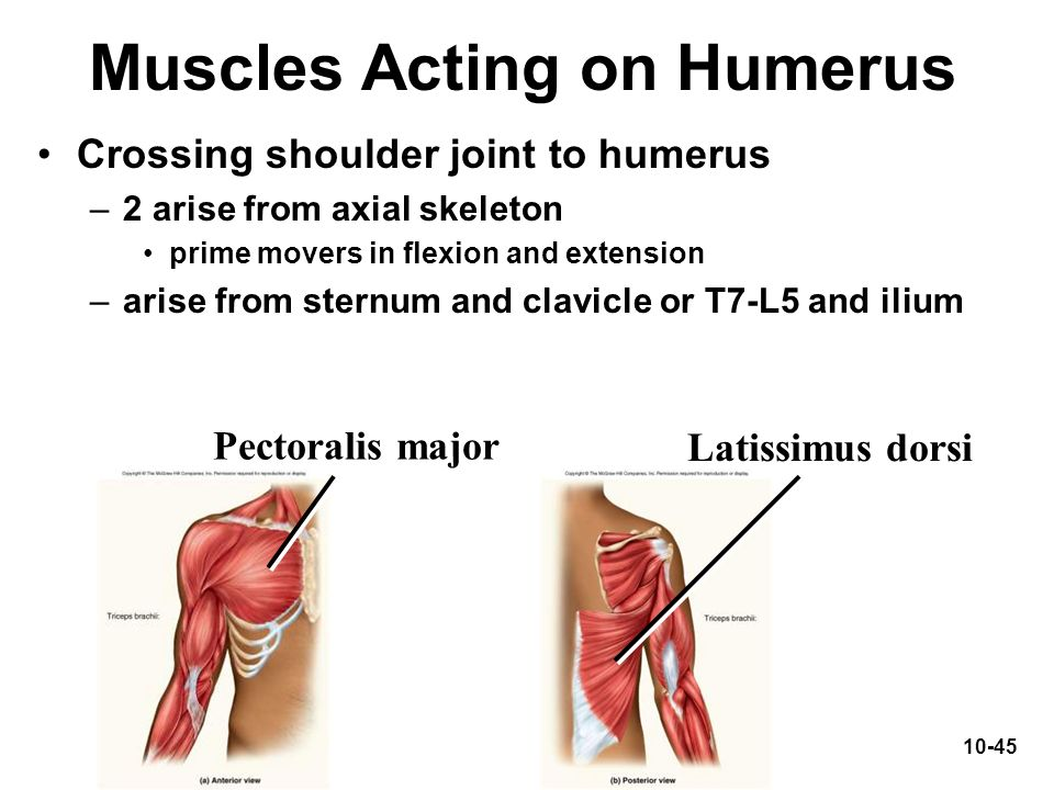Muscles Acting on Humerus