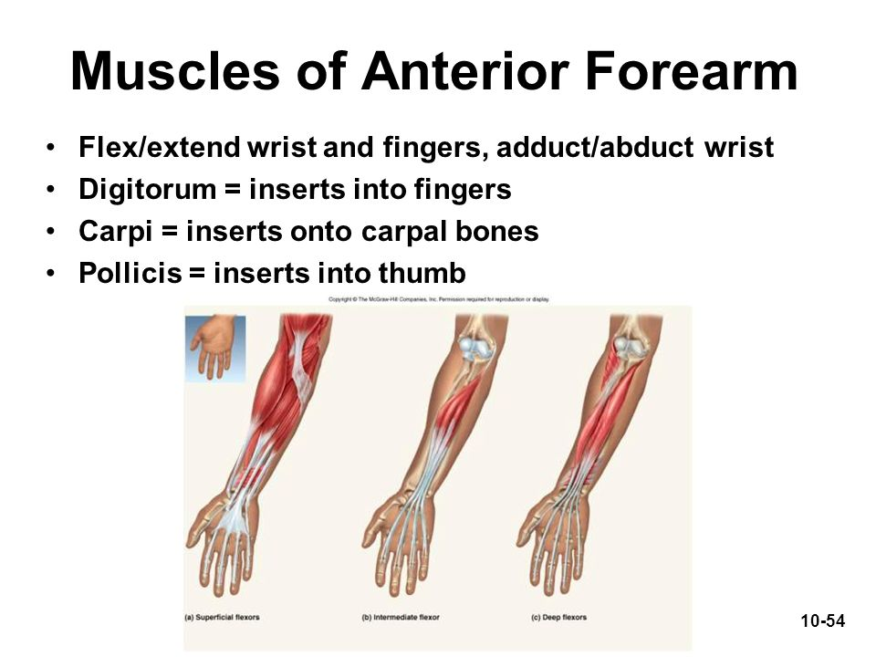 Muscles of Anterior Forearm