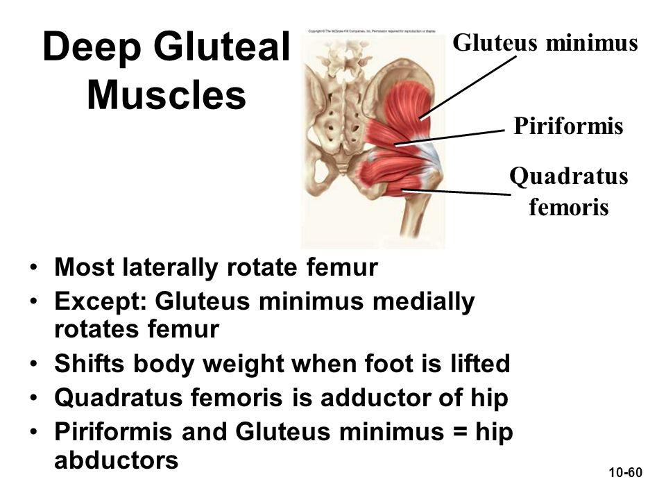 Deep Gluteal Muscles Gluteus minimus Piriformis Quadratus femoris