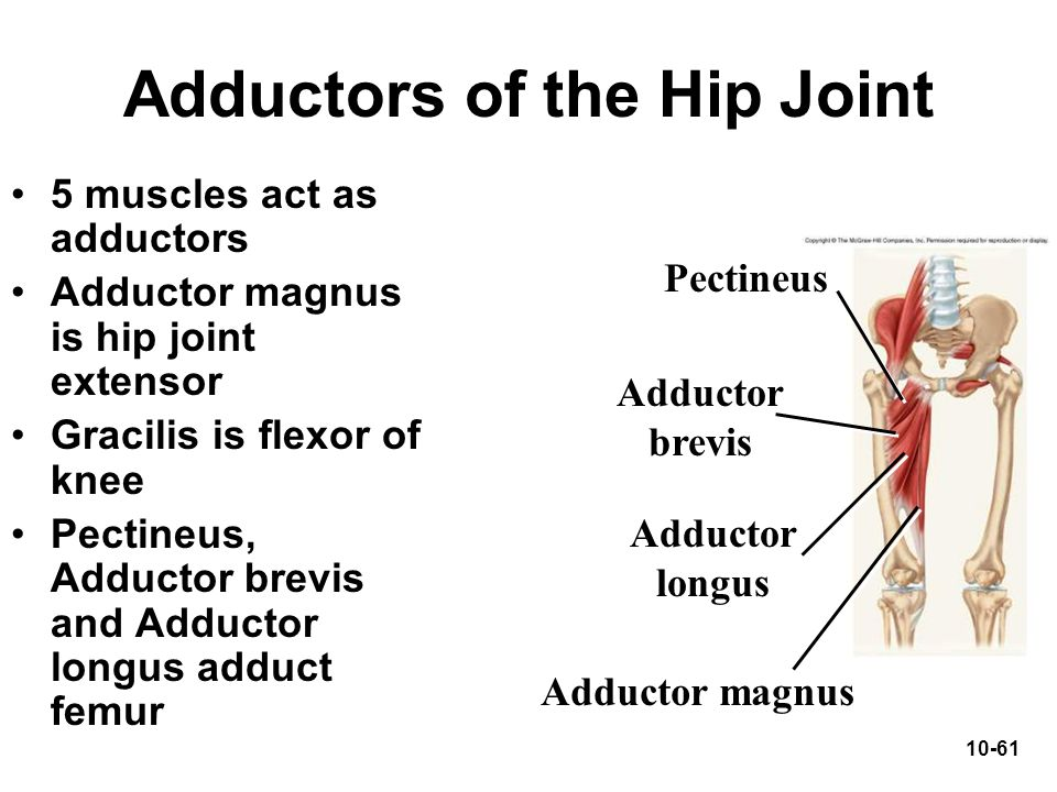 Adductors of the Hip Joint
