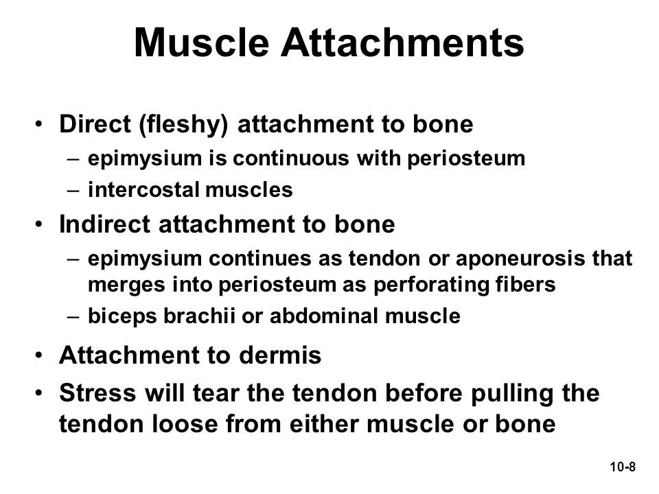 Muscle Attachments Direct (fleshy) attachment to bone