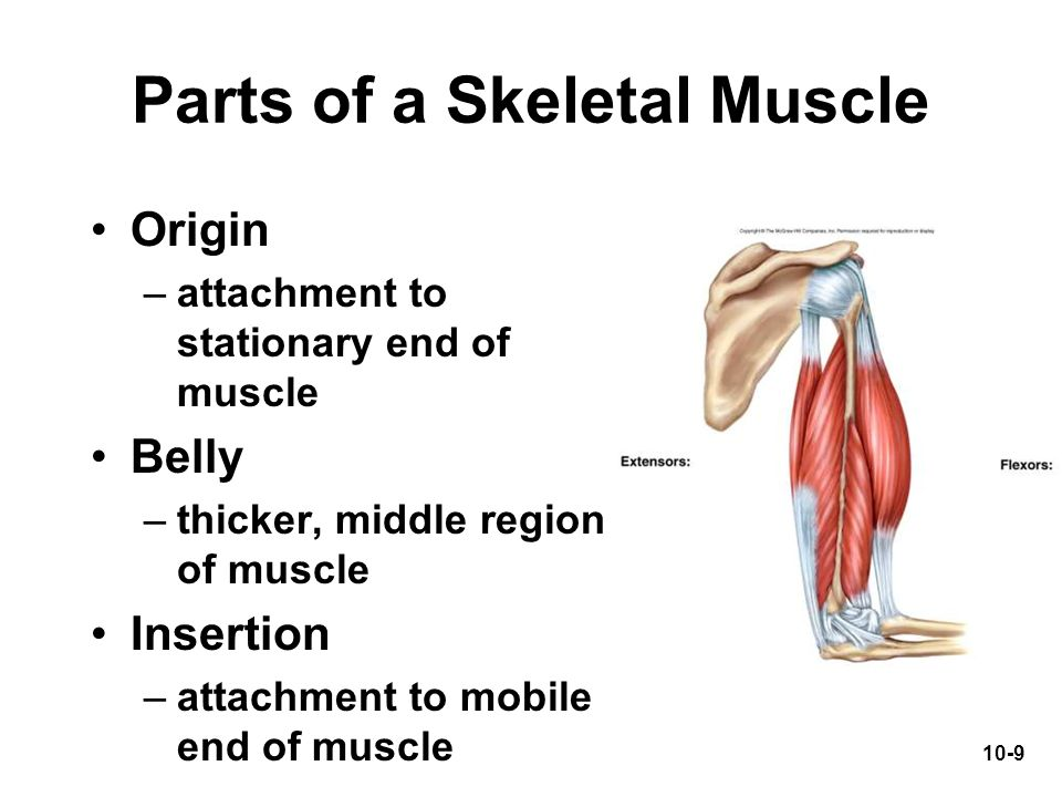 Parts of a Skeletal Muscle
