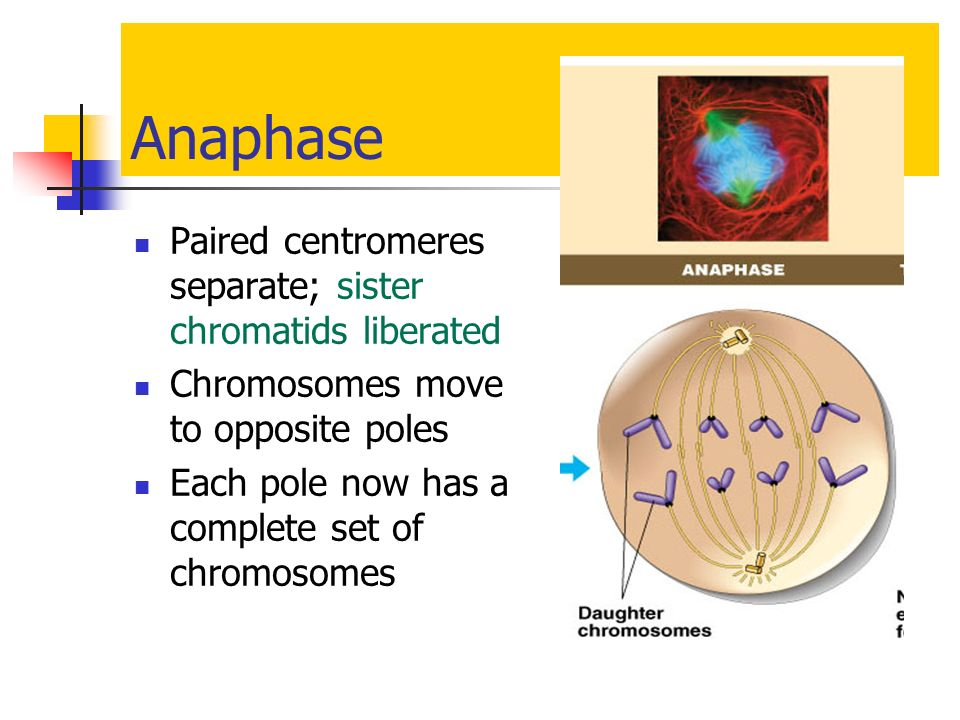 Anaphase Paired centromeres separate; sister chromatids liberated
