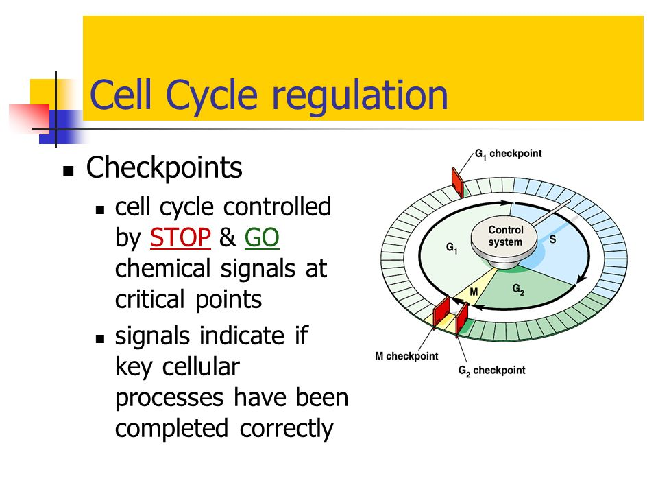 Cell Cycle regulation Checkpoints