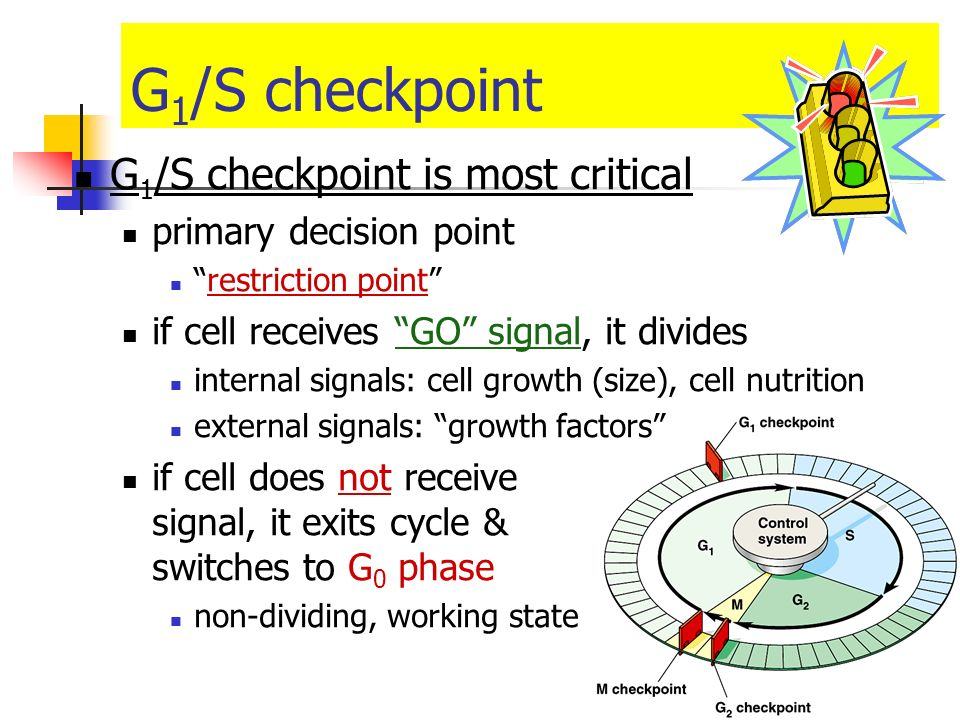 G1/S checkpoint G1/S checkpoint is most critical