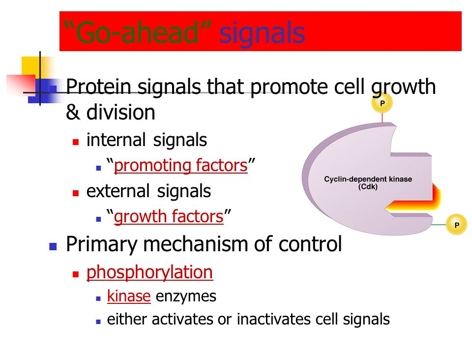 Go-ahead signals Protein signals that promote cell growth & division