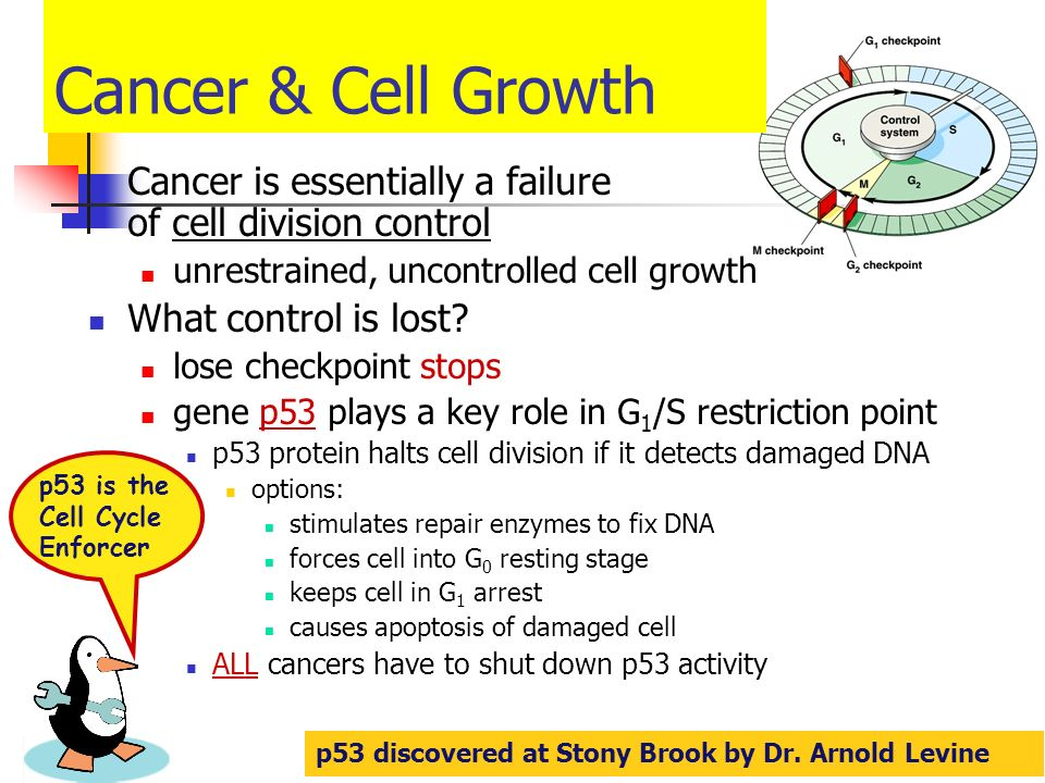 Cancer & Cell Growth Cancer is essentially a failure of cell division control. unrestrained, uncontrolled cell growth.