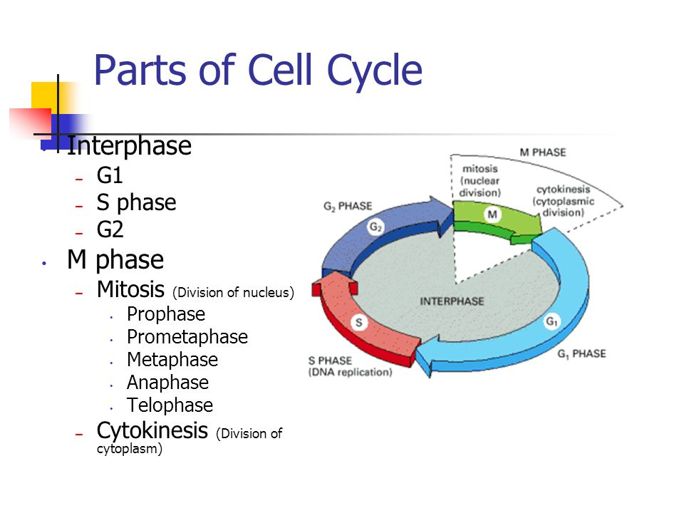 Parts of Cell Cycle Interphase M phase G1 S phase G2