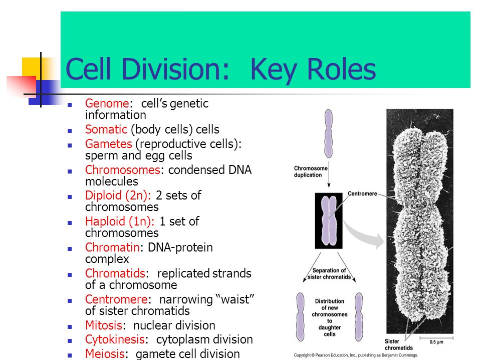 Cell Division: Key Roles