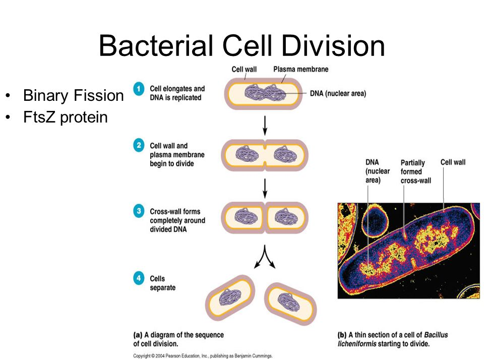 Bacterial Cell Division
