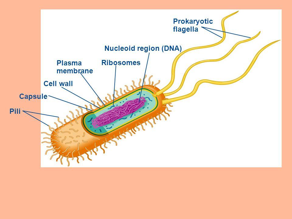 Prokaryotic flagella Nucleoid region (DNA) Ribosomes Plasma membrane Cell wall Capsule Pili