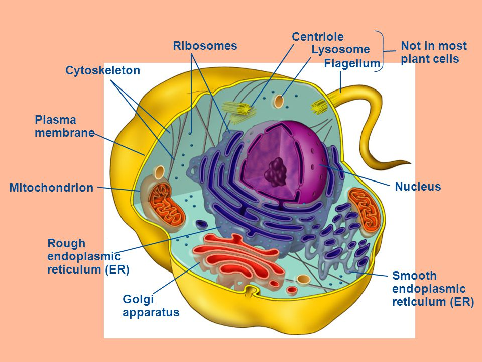 Ch 4 – A Tour of the Cell The cell is the basic unit of ...