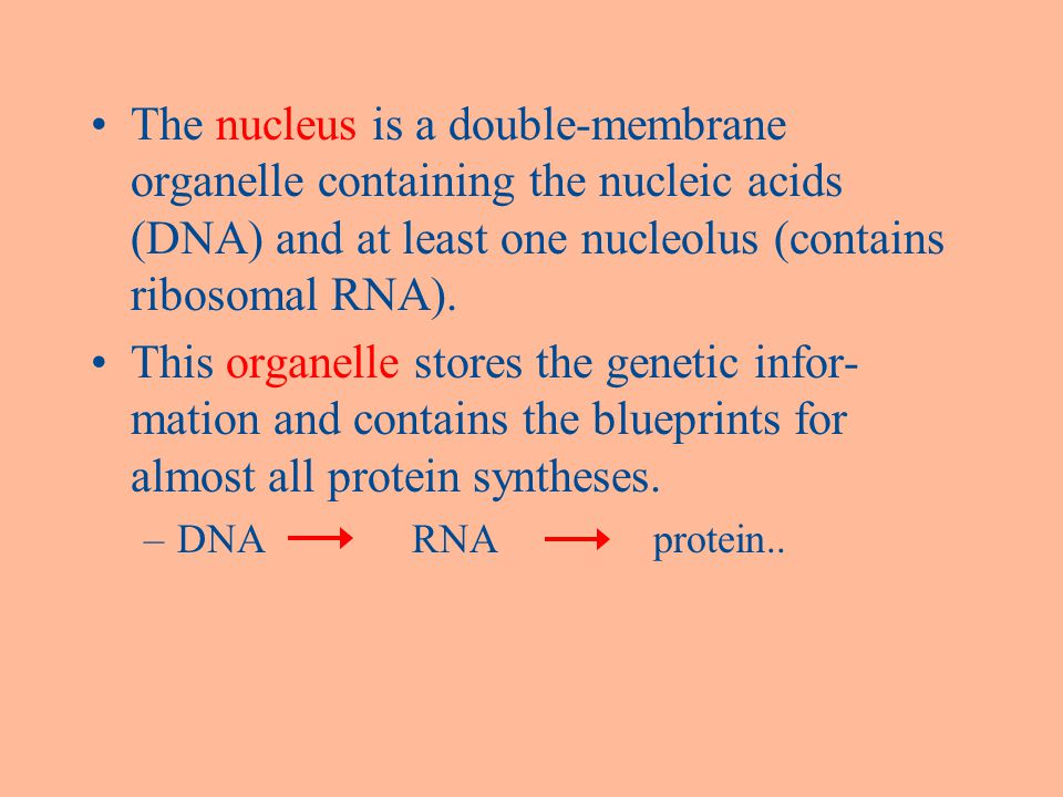 The nucleus is a double-membrane organelle containing the nucleic acids (DNA) and at least one nucleolus (contains ribosomal RNA).