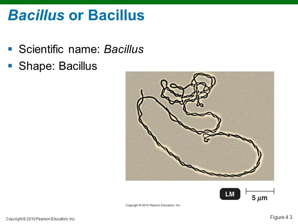 Bacillus or Bacillus Scientific name: Bacillus Shape: Bacillus