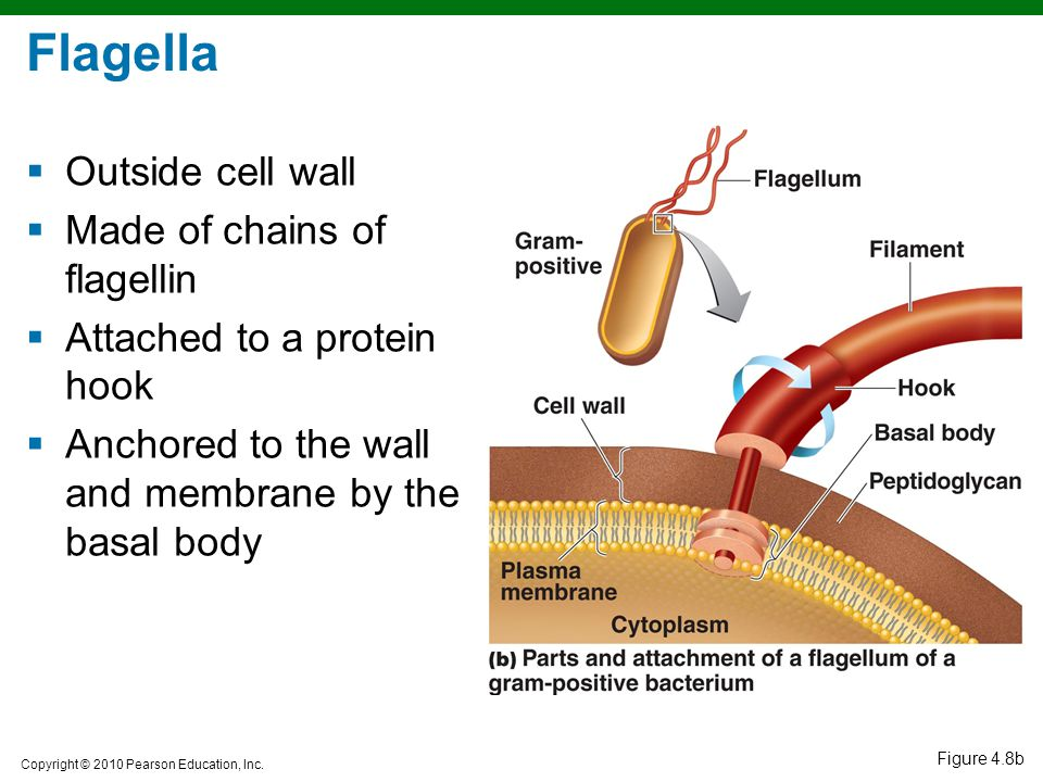 Flagella Outside cell wall Made of chains of flagellin