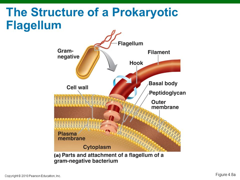 The Structure of a Prokaryotic Flagellum