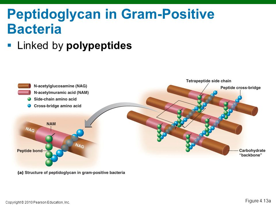 Peptidoglycan in Gram-Positive Bacteria