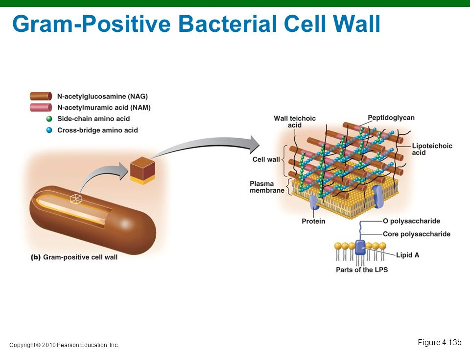 Gram-Positive Bacterial Cell Wall