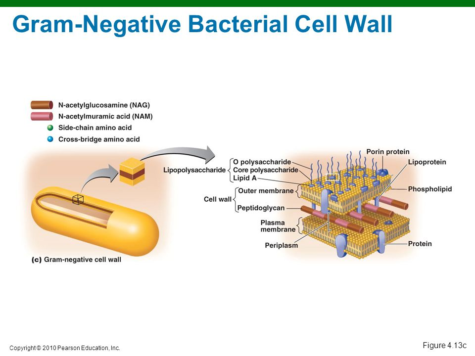Gram-Negative Bacterial Cell Wall