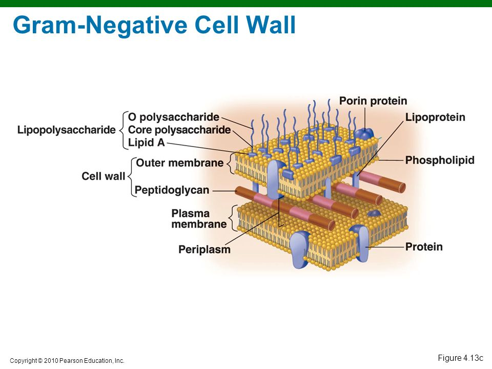 Gram-Negative Cell Wall