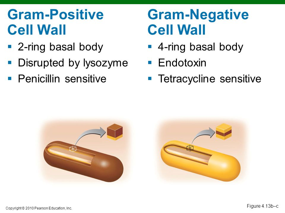Gram-Positive Cell Wall