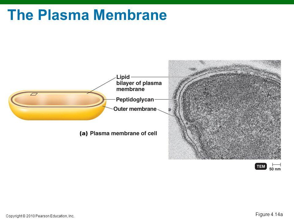 The Plasma Membrane Figure 4.14a