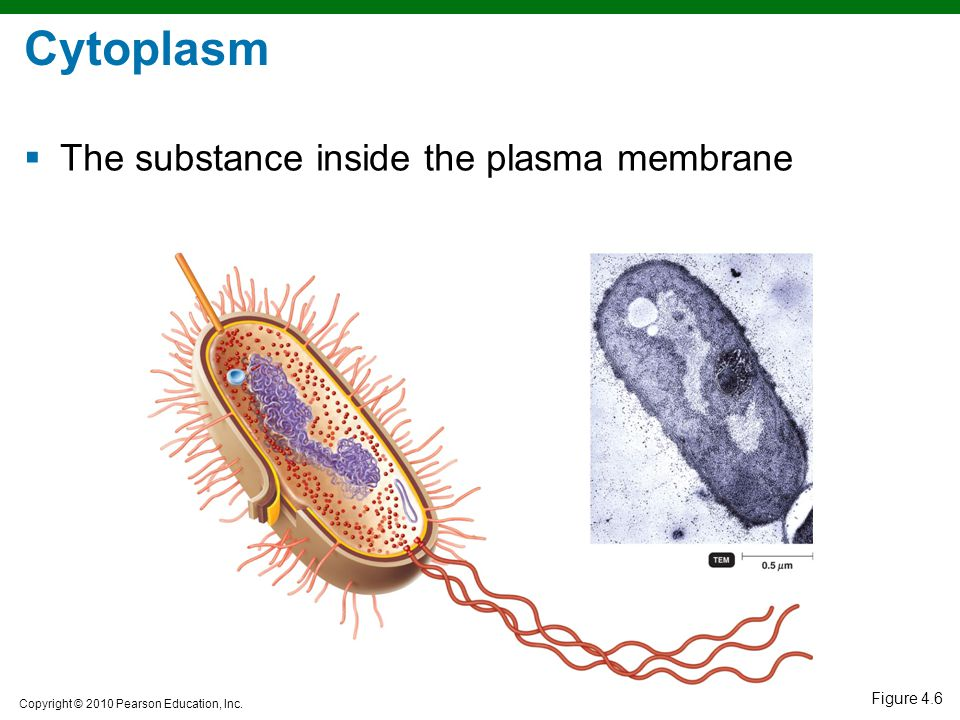 Cytoplasm The substance inside the plasma membrane Figure 4.6