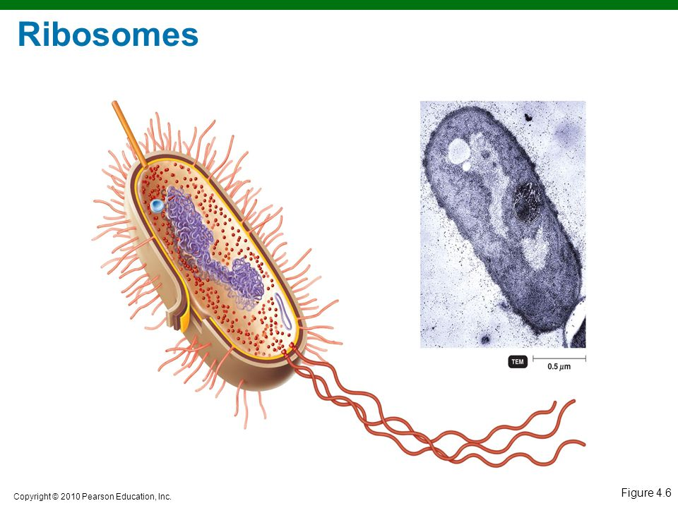 Ribosomes Figure 4.6