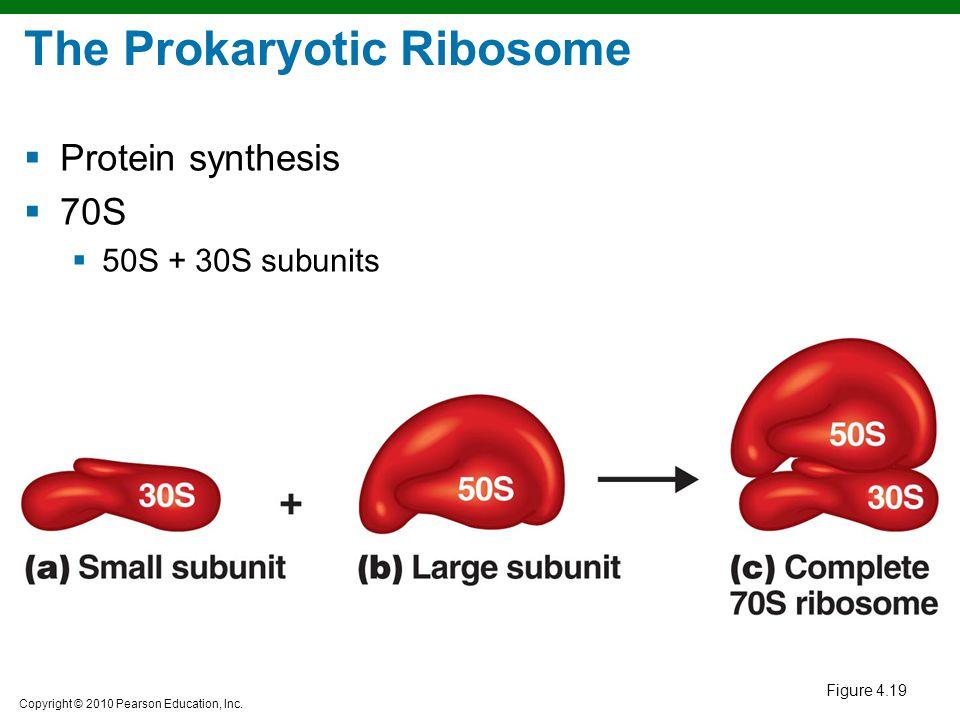 The Prokaryotic Ribosome