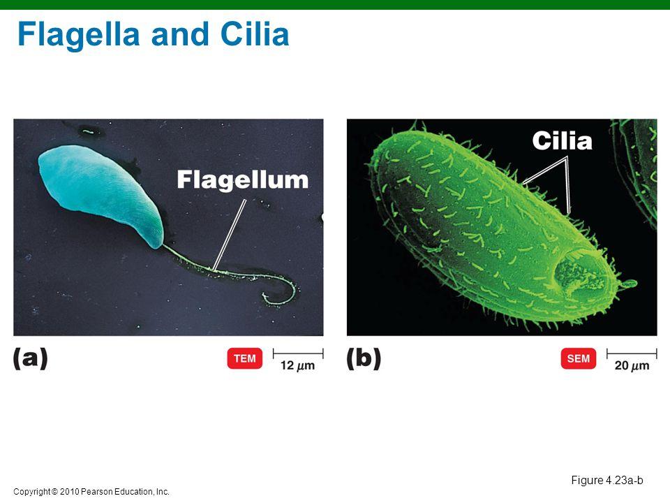 Flagella and Cilia Figure 4.23a-b