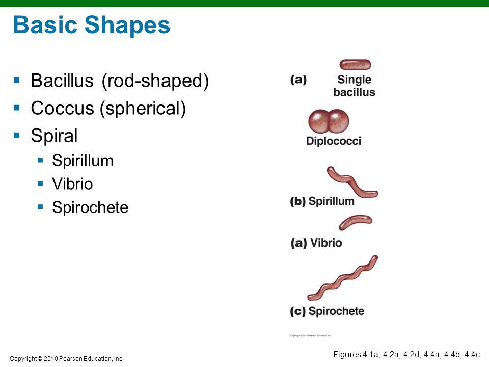 Basic Shapes Bacillus (rod-shaped) Coccus (spherical) Spiral Spirillum