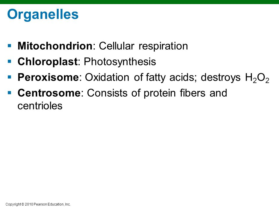Organelles Mitochondrion: Cellular respiration