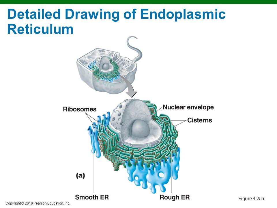 Detailed Drawing of Endoplasmic Reticulum