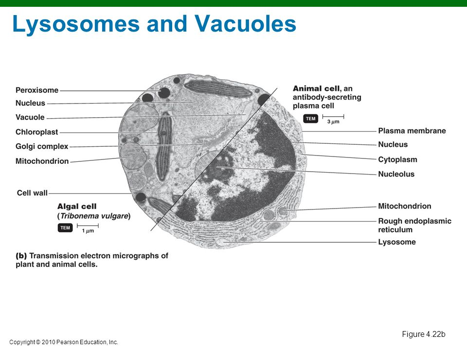 Lysosomes and Vacuoles