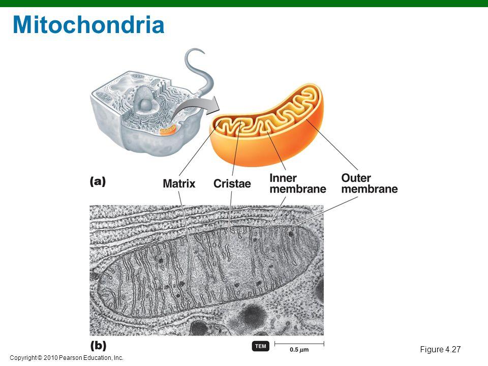 Mitochondria Figure 4.27