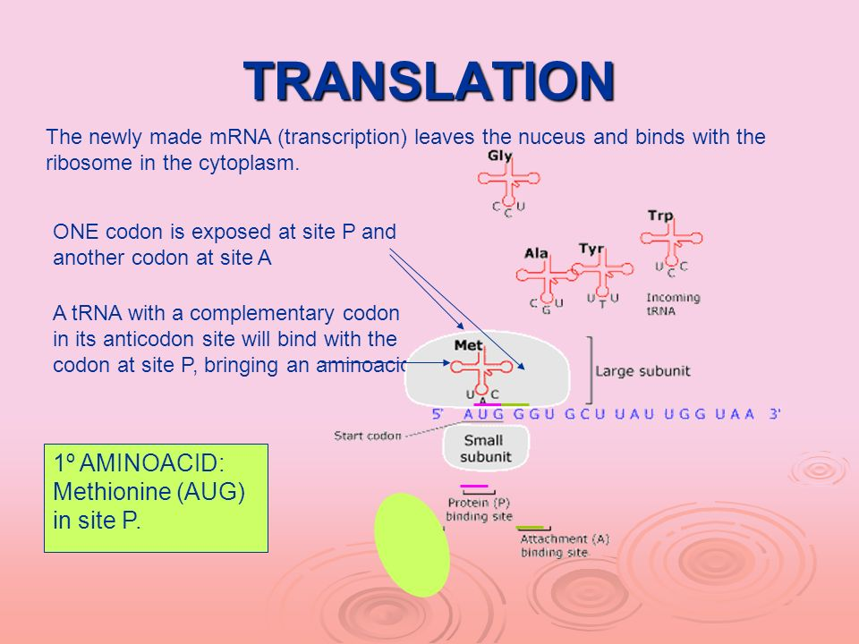 TRANSLATION 1º AMINOACID: Methionine (AUG) in site P.